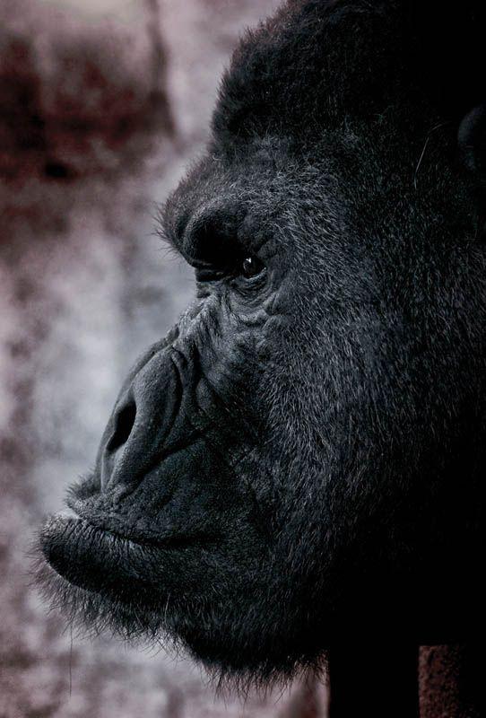 side profile of gorilla