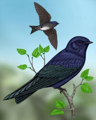 Purple Martin - Whatbird.com...maybe???