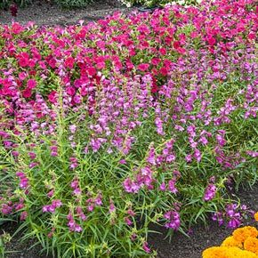 Sunburst Ruby Penstemon | Spring Hill Nurseries