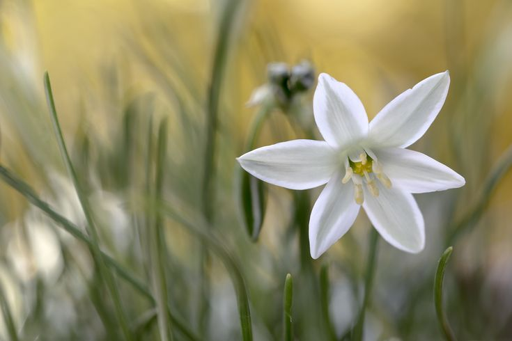 Star of Bethlehem by Mandy Disher | #Ornithogalum #white #spring #flower #floral #flora #nature #beauty