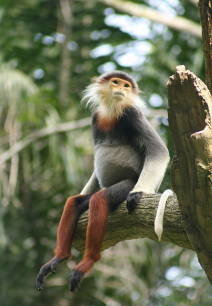 douc langur. Endangered species.