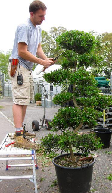 Pruning a Niwaki tree at the nursery