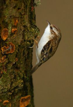 fuckyeabirds:  becausebirds:  Treecreeper because…birds!  LOOK HOW CUTE