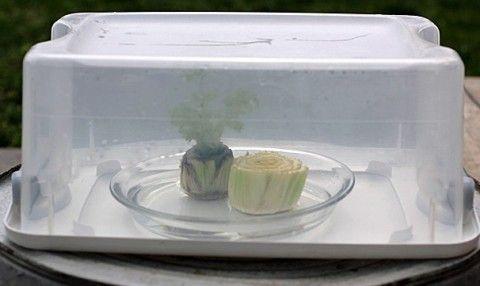 Как быстро вырастить сельдерей дома