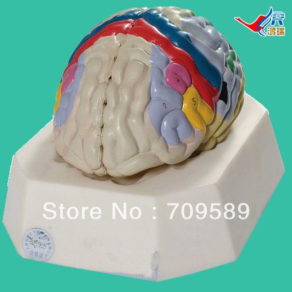 ISO Deluxe Brain Cortex model, Functional Localization of Cerebral Cortex, Medical Brain Model