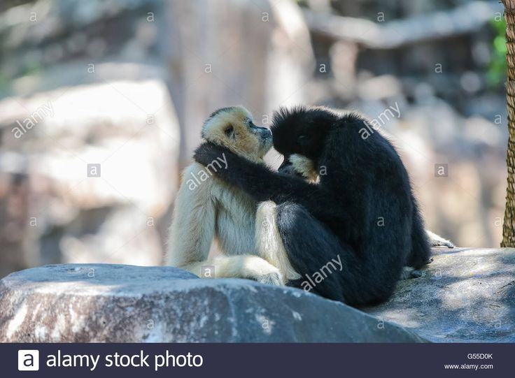 Download this stock image: Family Gibbons mate - G55D0K from Alamy's library of millions of high resolution stock photos, illustrations and vectors.
