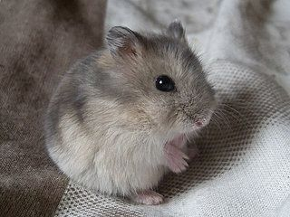 Djungarian dwarf hamster. Looks just like my pet hamster Muffin!