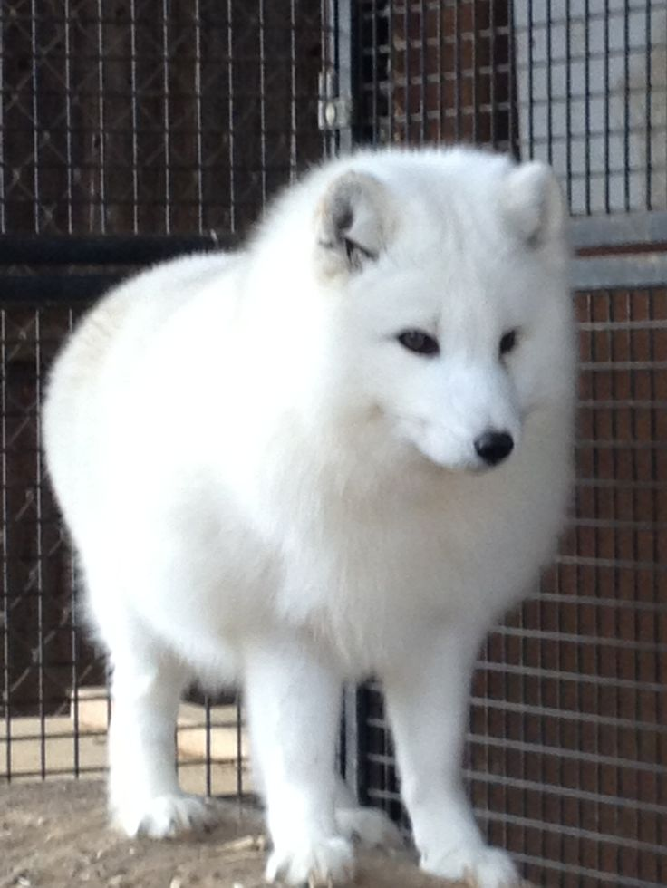 Best Arctic Fox Images On Pinterest Arctic Fox Foxes And - Domesticated baby fox is the cutest and sleepiest pet ever