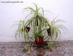Lazo de amor, cinta o malamadre, Chlorophytum comosum