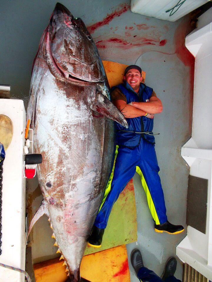 A monster blue fin tuna caught off the coromandel coast of New Zealand.