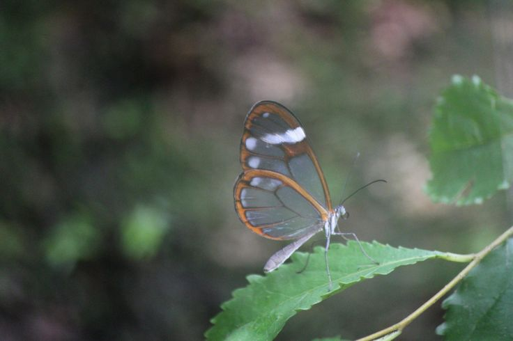Glassy butterfly??? Near Volcan, Panama