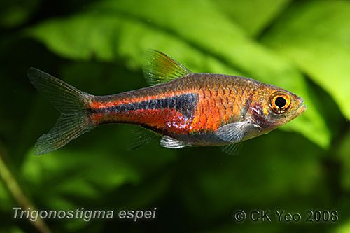 128 best images about rasbora fish family on pinterest for Freshwater schooling fish