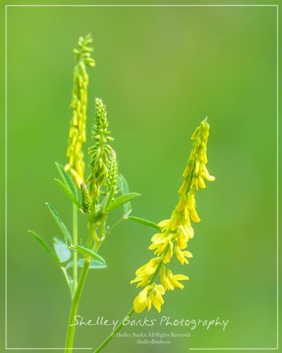 Yellow Sweet-Clover. Copyright © Shelley Banks, all rights reserved.