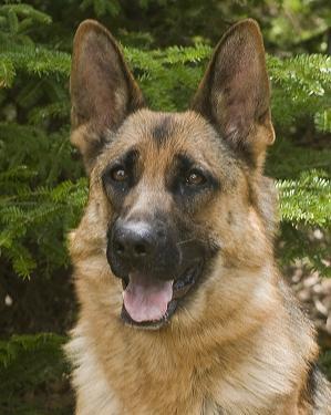 German Shepherd - grew up with these. Smart, loyal, beautiful.