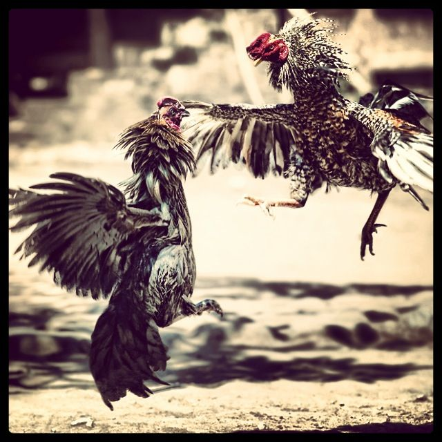Rooster Fight ส ตว ไก