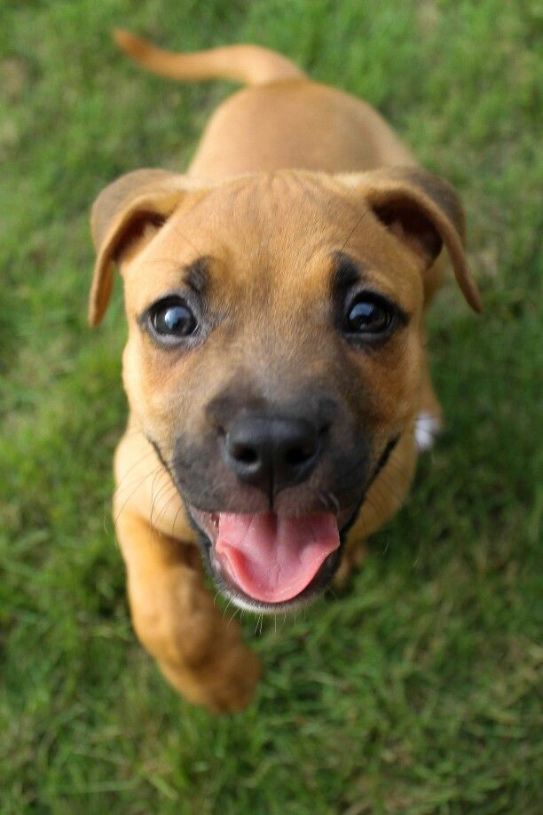 Exactly what my little Ivy looked like when we adopted her ... Rhodesian Ridgeback Lab Boxer Mix