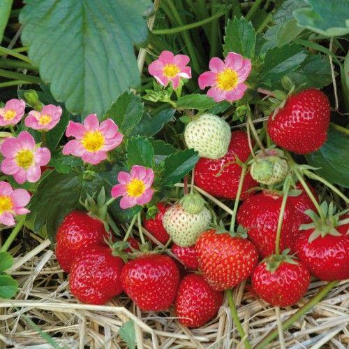Immertragende Erdbeere HUMMI®-MEROSA HZ 6 Stück