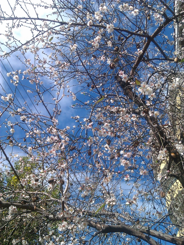 Almond Tree - Spring is here...