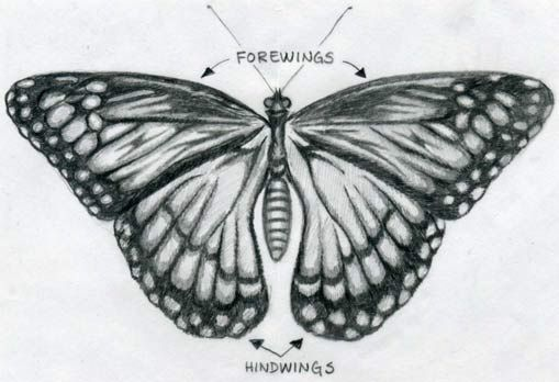 Easy Drawings: Easy Butterfly Drawings