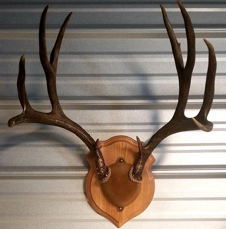 Skull Cap Mount Skull, Coyote skull, Old trophies