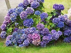 Taking Care of Hydrangeas