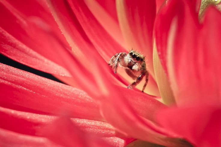check out here http://earth66.com/macro/tiny-jumping-spider-giving-eyes/