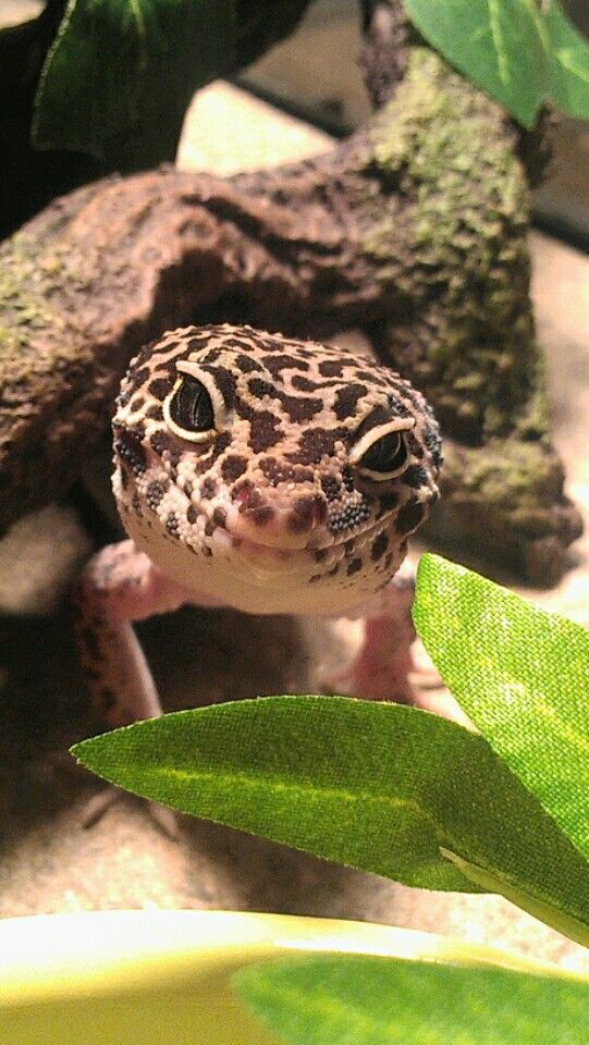 My Mack Snow leopard gecko, Gotenks, cheezin'. Cheeky little guy.