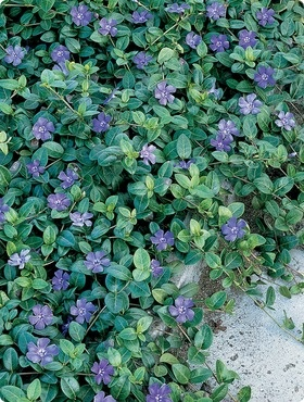 Periwinkle (ground cover; shade)