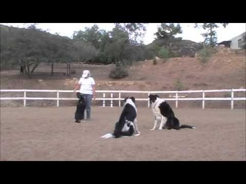 Multiple Dog Recalls - Clicker Dog Training - YouTube
