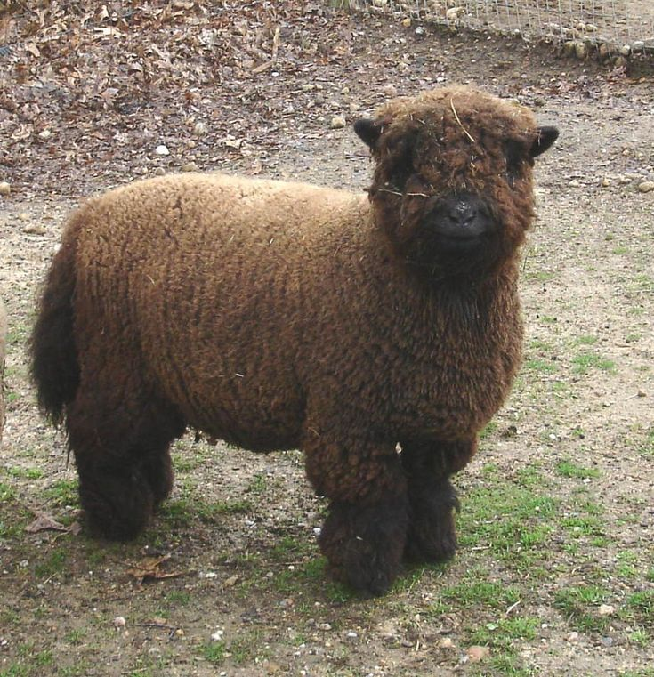 Call me weird, but I have a deep love for black sheep. Well, brown in Coco's case. They are so beautiful and rare.
