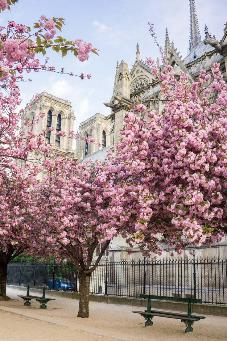 Square Jean-XXIII - Cathédrale Notre-Dame de Paris | Discover where and when to find cherry blossoms awith this floral filled, Paris travel guide.