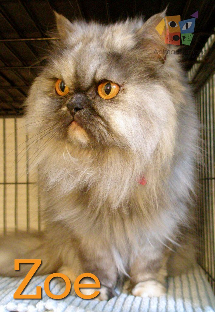 I'm a GORGEOUS Persian lady with a mellow, spunky, and laid back nature. I'm a little bit of a diva but I'm lots of fun to be around.You can find me at Kurt's Camera Corral on Juan Tabo!