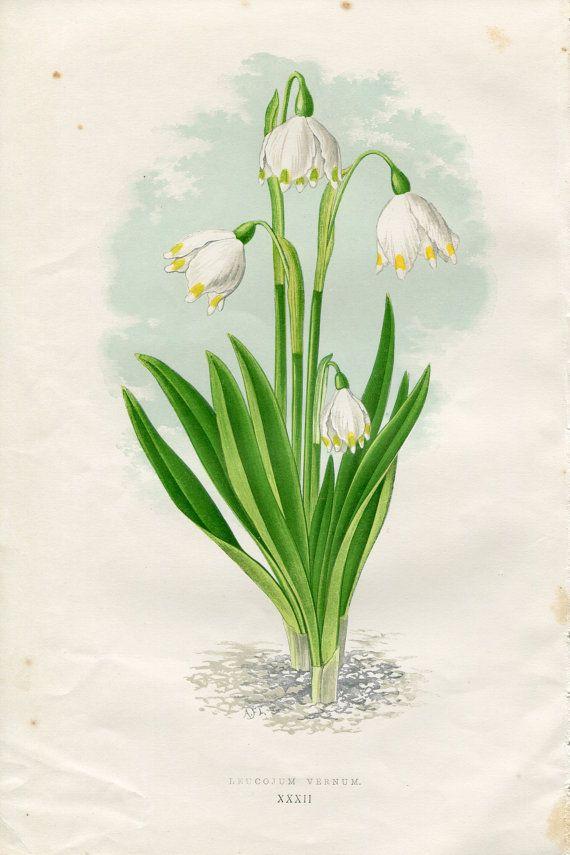 Märtsikelluke. Antique Original Hand Colored Bookplate Chromolithograph Print Alpine Flower by David Wooster 1872 Plate XXXII Leucojum Vernum