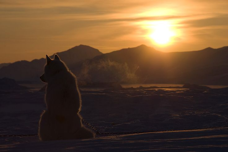 sledge-dog-in-the-sunset