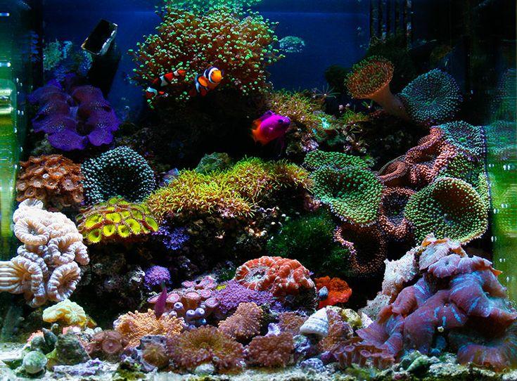 14 Gallon Biocube Nano Reef Tank   Love The Layout