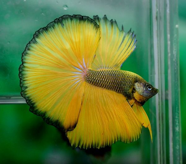 848 best betta fish pictures images on pinterest betta for Fighting betta fish