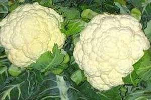 La coliflor es otro de los vegetales que brinda beneficios contundentes sobre uno de los males que aqueja a la sociedad humana en la actualidad, el cáncer. SIGUE LEYENDO EN: http://alimentosparacurar.com/n/5812/alimento-que-ayuda-a-prevenir-el-cancer-la-coliflor.html