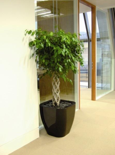 Black Quadik Pot Planted With Ficus Benjamina On Braided