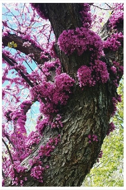 Cersis Siliquastrum; Judas Tree photo by @Becky Leung
