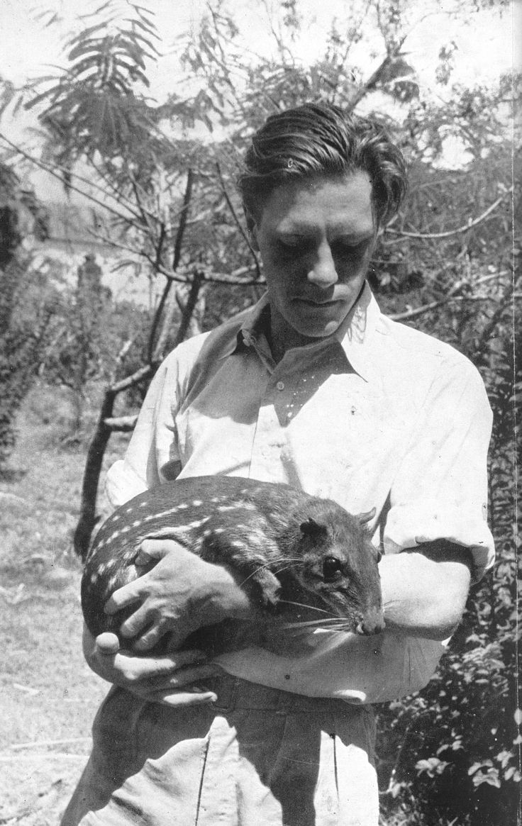 """Gerald Durrell with a Paca, early 1950s.--- Durrell was a great """"animal person"""", and his books are among my favorites.A.M."""