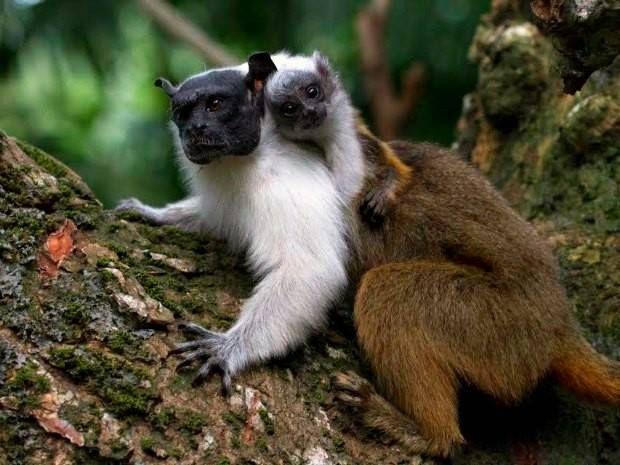 AMEAÇADO DE EXTINÇÃO  Sauim-de-coleira é encontrado apenas em três municípios do Amazonas (Foto: Diogo Lagroteria/Ibama) https://www.facebook.com/photo.php?fbid=702739769809583