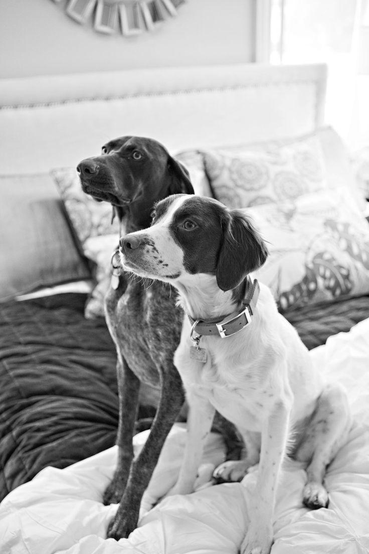 #Brittany Spaniel & GSP http://tipsfordogs.info/90dogtrainingtips/