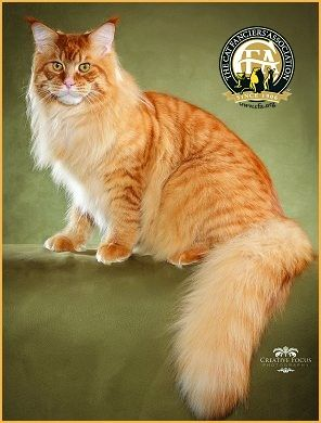 Maine Coon, red tabby mackerel (d 23). GC MAINE DELITE'S HAWKEYE