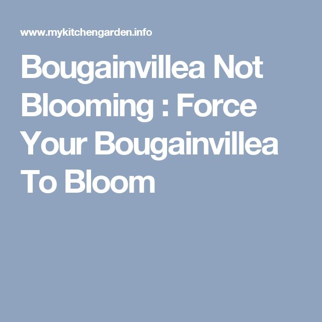 Bougainvillea Not Blooming : Force Your Bougainvillea To Bloom