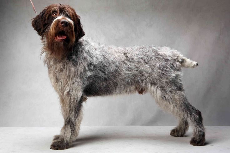 17 Best images about Wirehaired Pointing Griffon on ...