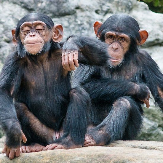 Two baby Chimpanzees sitting side by side  Taronga zoo