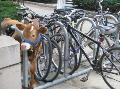 wtf.  cute baby cow...and bikes?