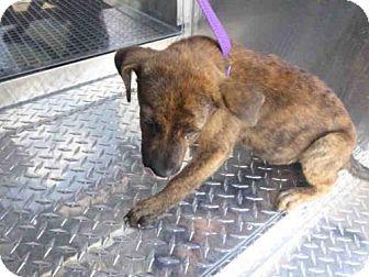 Naples, FL - Black Mouth Cur Mix. Meet SKITTLES, a puppy for adoption. http://www.adoptapet.com/pet/16974279-naples-florida-black-mouth-cur-mix