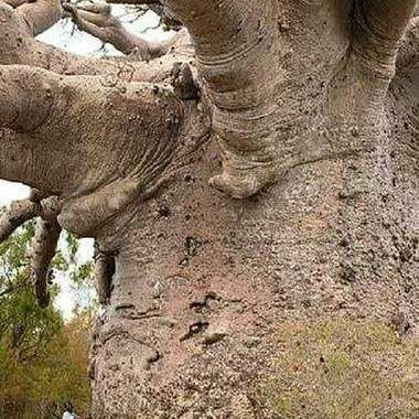 This is a Baobob tree found in Africa, this tree is at least six thousand years old