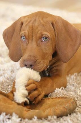 Naughty Eyes Hungarian Vizslas Dogs Vizsla Pet Dogs